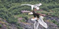 Seagulls Attack Deadly Bald Eagle Swooped Gra
