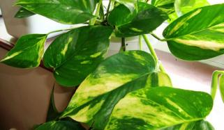 Plant That Can Remove Cancer Causing Pollutants From Home