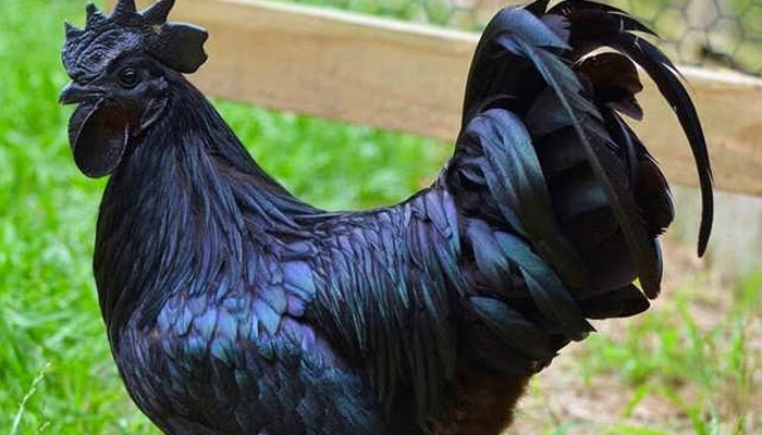 کوہلی کو 'گرلڈ چکن ' نہ کھانے کا مشورہ