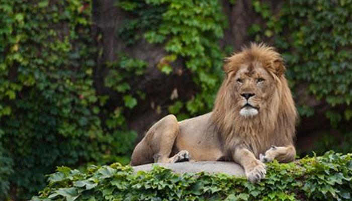 جنوبی افریقا،انسانوں کے گھر میں 77 شیروں کا بسیرا