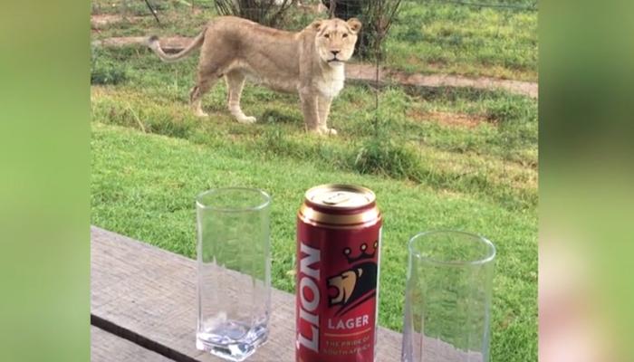 شیروں کے ساتھ رہنا ہے، تو جنوبی افریقا جائیں