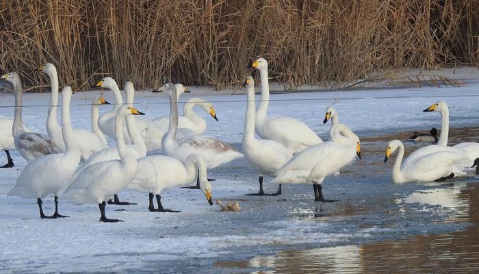 چین میں سینکڑوں سفید ہنسوں کا جھیل پر ڈیرہ
