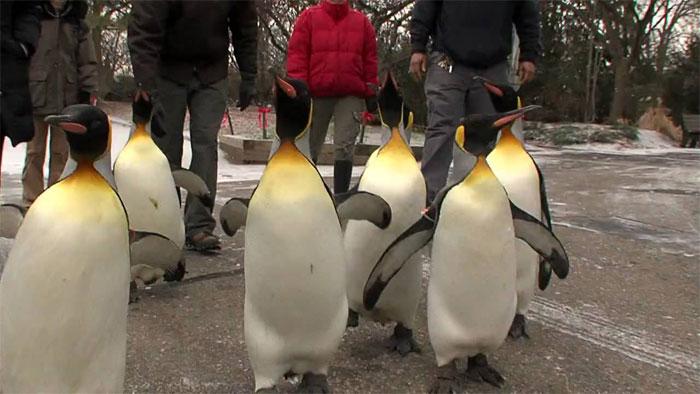 امریکی چڑیا گھر میں پینگوئنز کی سالانہ پریڈ