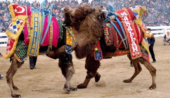 Traditional Camel Wrestling Festival 2019