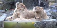 Capybara Family Keeps Warm With Hot Spring Dip