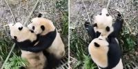 Pandas Vicious Fight Broken Up With Apples China