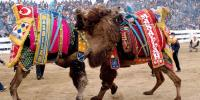 Traditional Camel Wrestling Festival 2019