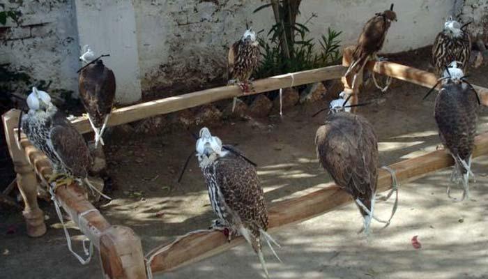 ٹھٹھہ: قیمتی پرندوں کی اسمگلنگ کی کوشش ناکام