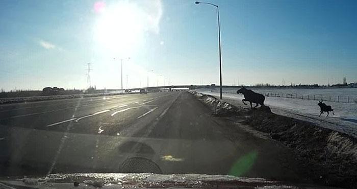 کینیڈا، بارہ سنگھا ہائی وے پر حادثے سے بچ گیا