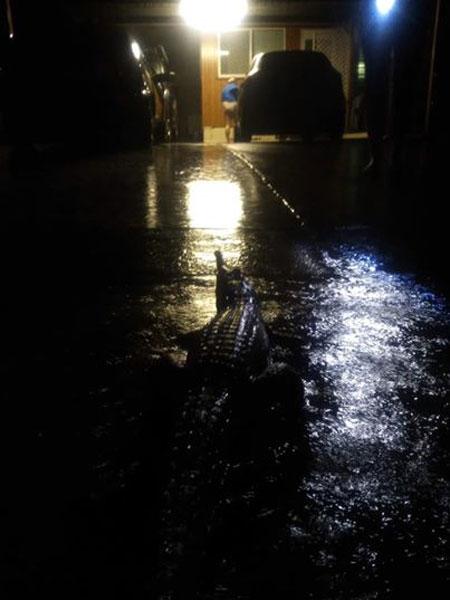 آسٹریلیا: بارش سے مگرمچھ اور سانپ رہائشی علاقے میں آ گئے