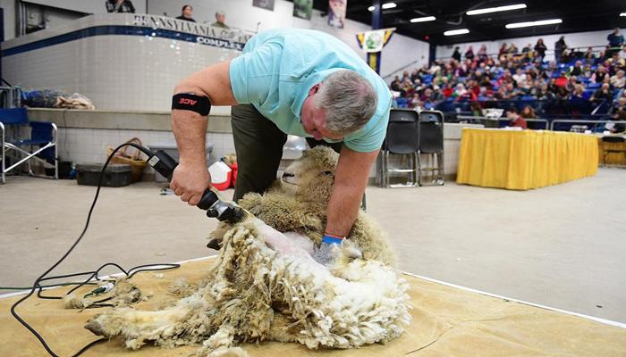 نیوزی لینڈ: بھیڑوں کی اون اتارنے کا سالانہ مقابلہ