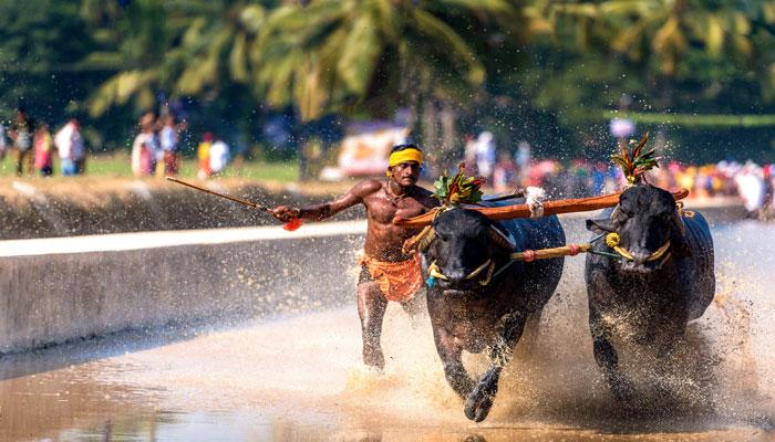 بھارت: کرناٹک میں بھینسوں کی سالا نہ ریس