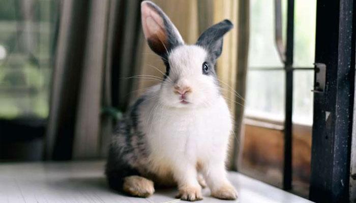 کرتب بازی کے شوقین خرگوش کا اسٹنٹ دکھانے کا مظاہرہ