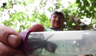 Worlds Biggest Species Of Bee The Size Of A Human Thumb Found In Indonesia
