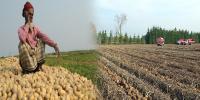 Loss In Potato Crops 3 Farmers Died