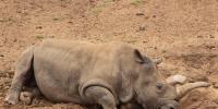 Rhino Died In Lal Suhanra Park Bahawalpur