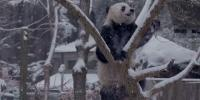 Adorable Pandas Enjoy Snow In Washington