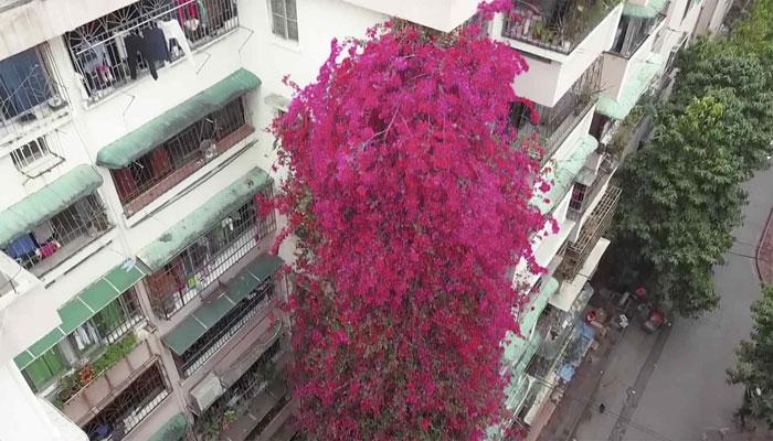 چین میں نو منزلہ عمارت پر پھولوں کی بیل کا خوبصورت شاہکار