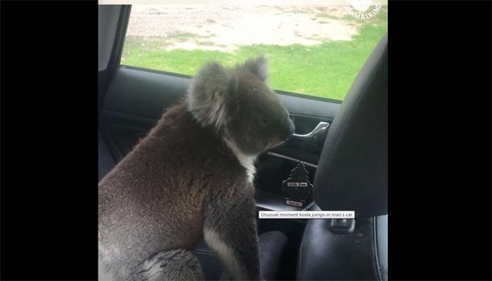 آسٹریلیا:گرمی سے پریشان کوالا گاڑی میں داخل