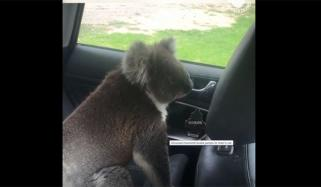 Feisty Koala Decides To Cool Off Inside Car