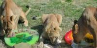 Dallas Zoo Celebrates Lion Cubs 2nd Birthday