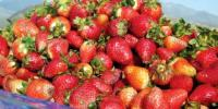 Cultivation Of Strawberry In Pakistan