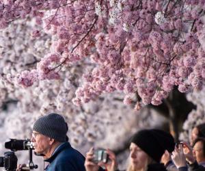 چین، امریکا میں چیری پھولوں کی بہار