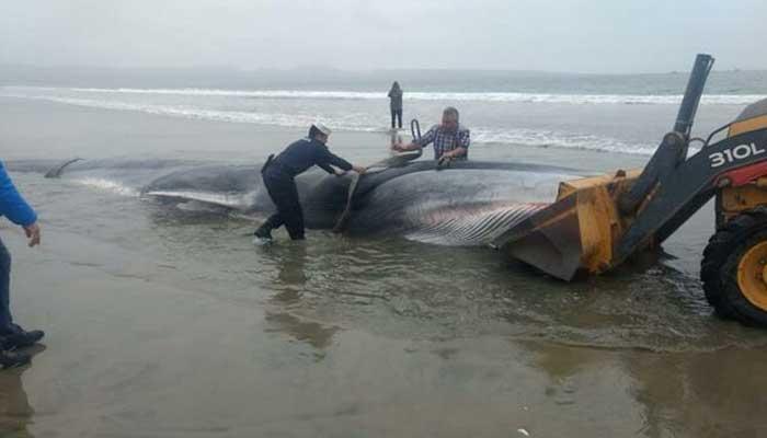 چلی کے ساحل پر10ٹن وزنی وہیل مچھلی کی آمد