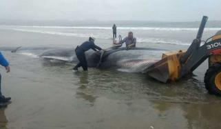 A Whale Stranded On A Chilean Beach Dies Despite Attempts To Save It