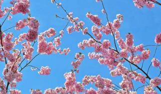 Stunning Cherry Blossom Festival In Netherlands