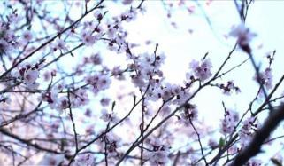 North Korea Apricot Blossoms Bloom In Pyongyang