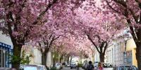 Cherry Blossom Festival 2019 Kicks Off In Berlin