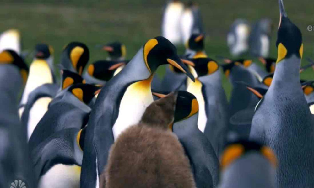کنگ پینگوئن کی نسل ناپید ہونے کا خدشہ