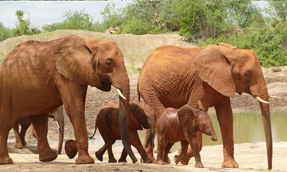 گڑھے سے ہاتھی کے بچوں کا بحفاظت نکال لیا گیا