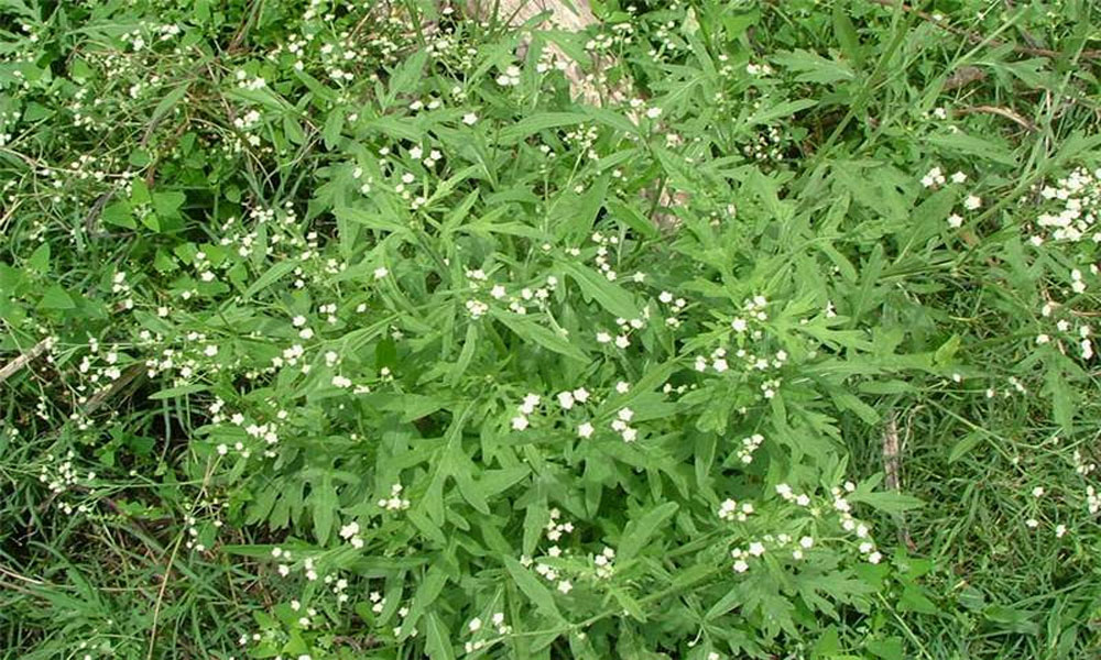 لوئر دیر میں زہریلے پودے پارتھینیم سے نقصان کا خدشہ