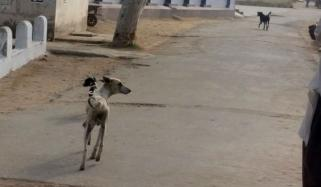 Sindh One Lakh People Bitten By Dogs In 6 Months