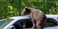 Family Of Bears Take Over Mans Car