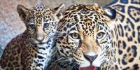 Mexico Zoo Welcomes New Jaguar Cub