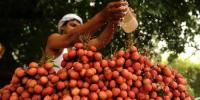 Indian Children Died After Eating Lychees