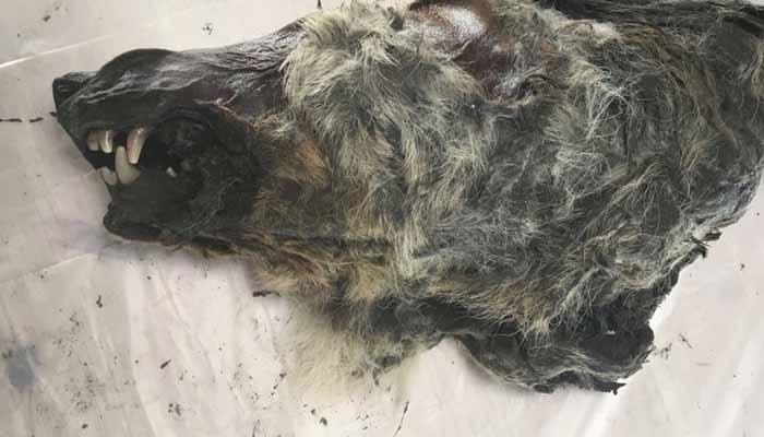 روس،40ہزار سال پرانے بھیڑیے کا سر دریافت
