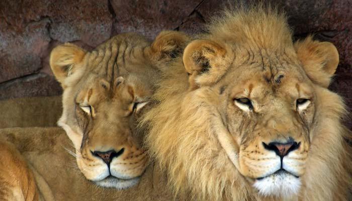 لاہور: جوہر ٹاؤن میں چھاپہ، غیرقانونی شیروں کا جوڑا برآمد