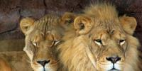 Raid In Lahore Illegal Pair Of Lion Recovered