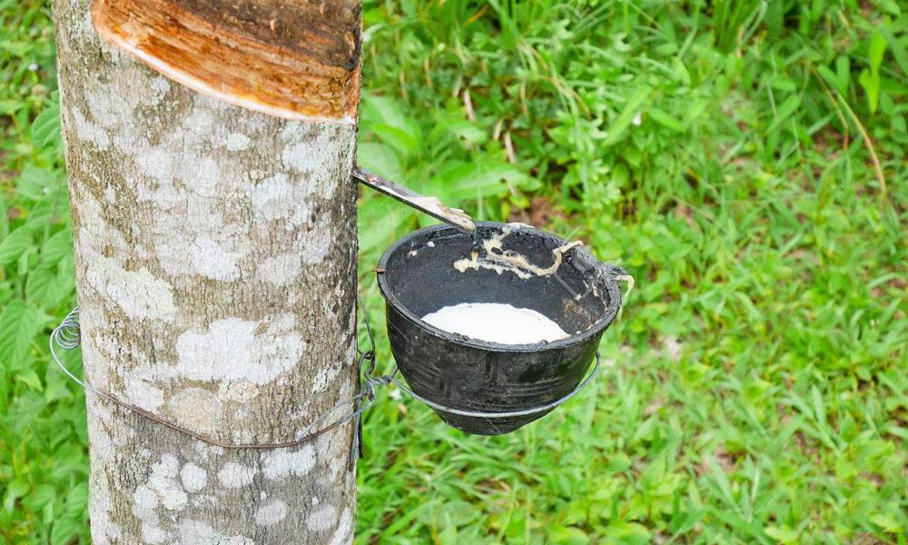 ''ربر کا درخت'' چالیس فٹ اونچا ہوتا ہے