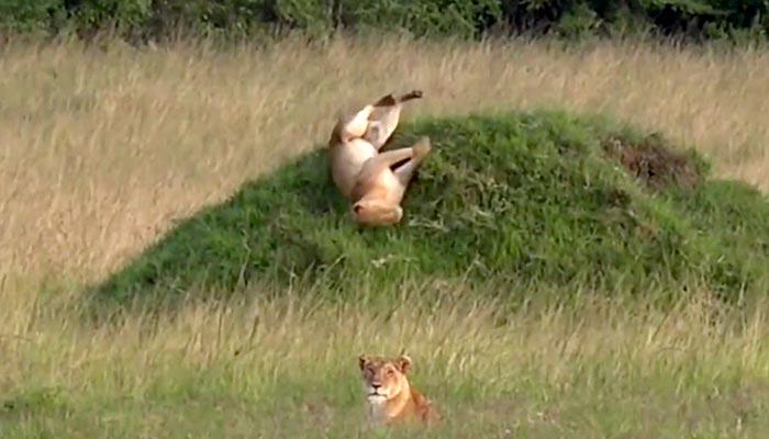 کینیا میں جنگل کا بادشاہ ٹیلے سے لڑھک گیا