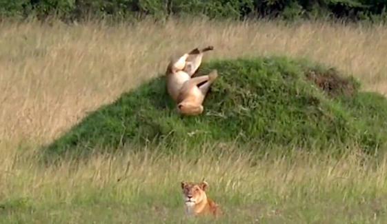 Lazy Lion Takes A Hilarious Tumble In Kenya