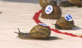 Ready Steady Slow Annual Snails Racing World Championship In Uk