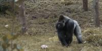 A Gorilla Plays Rugby In This Delightful Video In Uk