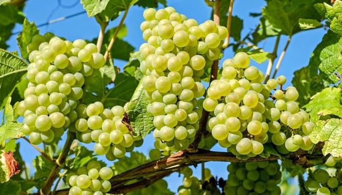 ایک مہینہ لگا تار انگور کھانے سے کیا ہوتا ہے؟