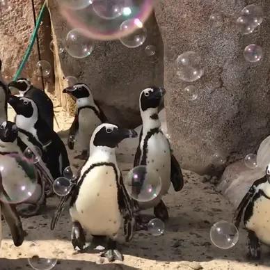 پانی کے بُلبلوں کو حیرانی سے دیکھتی پینگوئینز کی ویڈیو وائرل