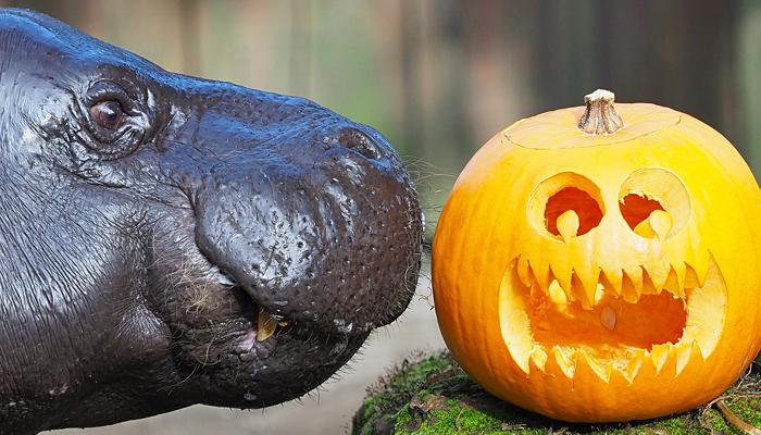 لندن چڑیا گھر میں جانوروں کیلئے ہیلووین پارٹی کا اہتمام